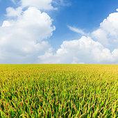 ripe rice in the field of farmland