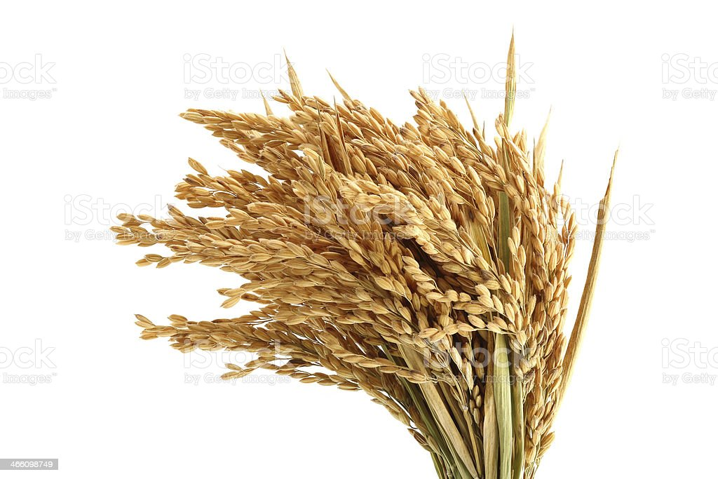 Ripe rice stock photo