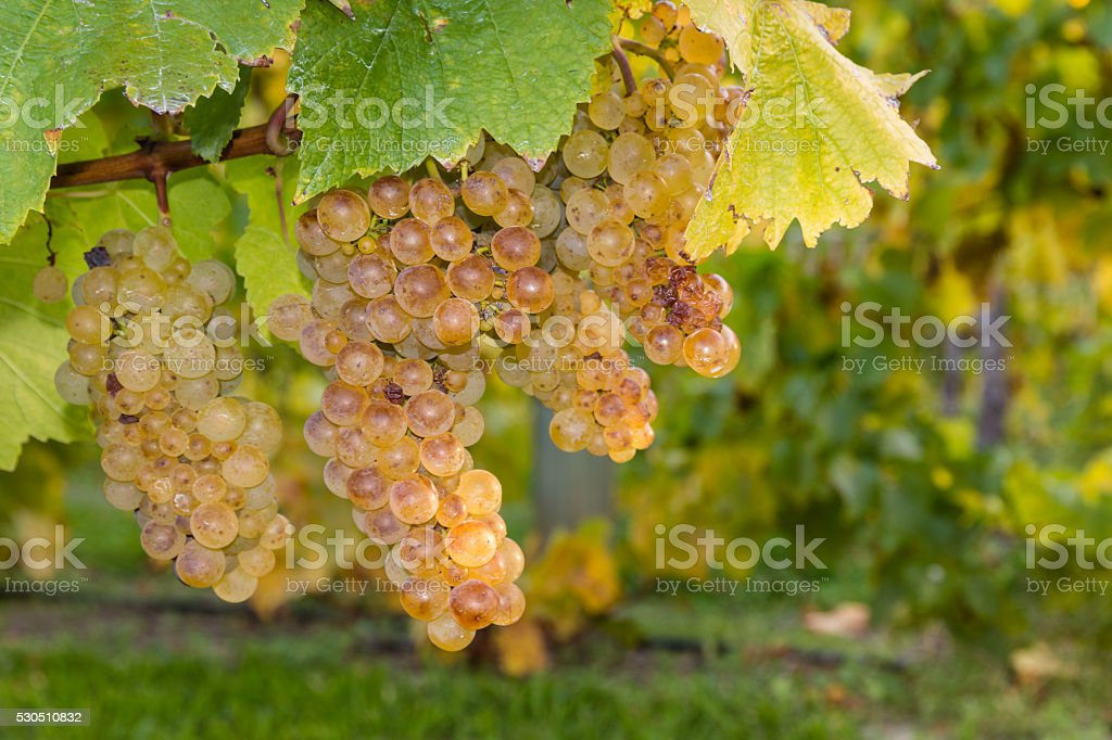 ripe riesling grapevine and leaves stock photo