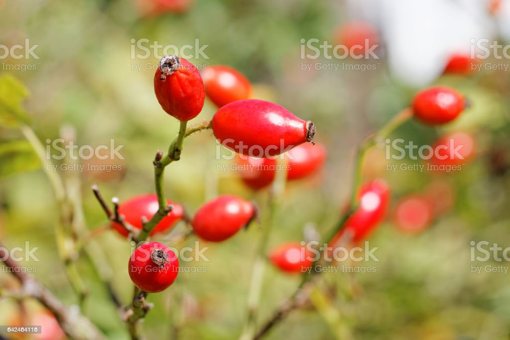 Ripe Rose Hips ( Rosa canina ) in Late Summer – Foto