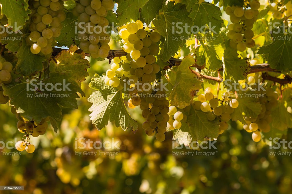 ripe Sauvignon blanc grapes stock photo