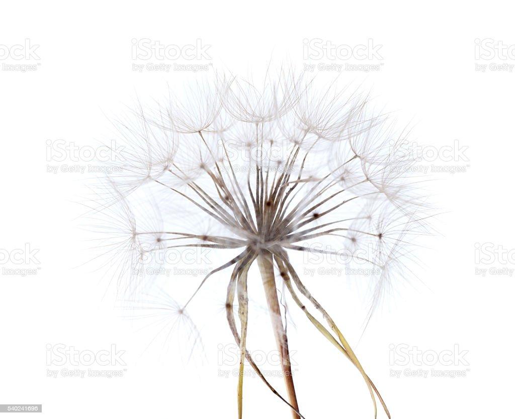 ripe seedhead of salsify stock photo