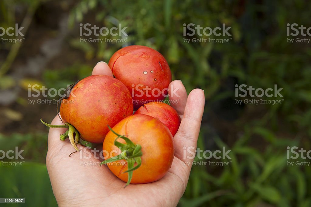 Ripe small tomatos in my hand stock photo