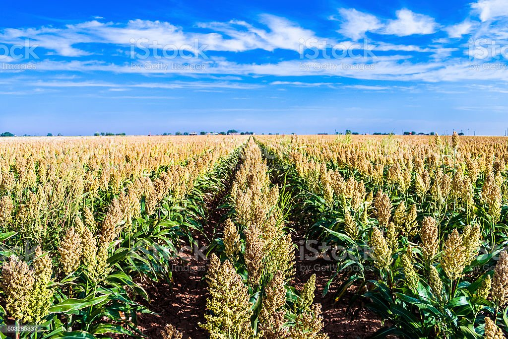 ripe sorghum milo millet crop field in rows stock photo