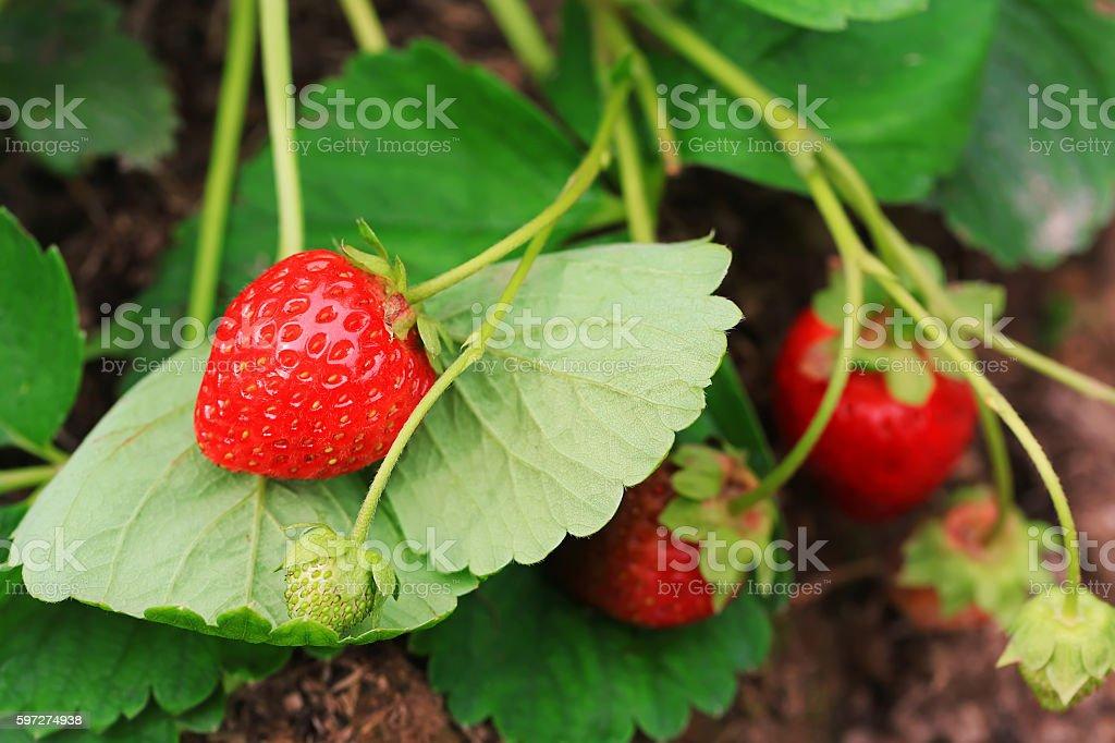 ripe strawberries on a bush in the garden stock photo