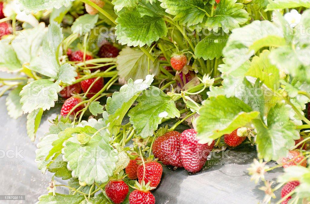 Ripe Strawberries on the vine royalty-free stock photo