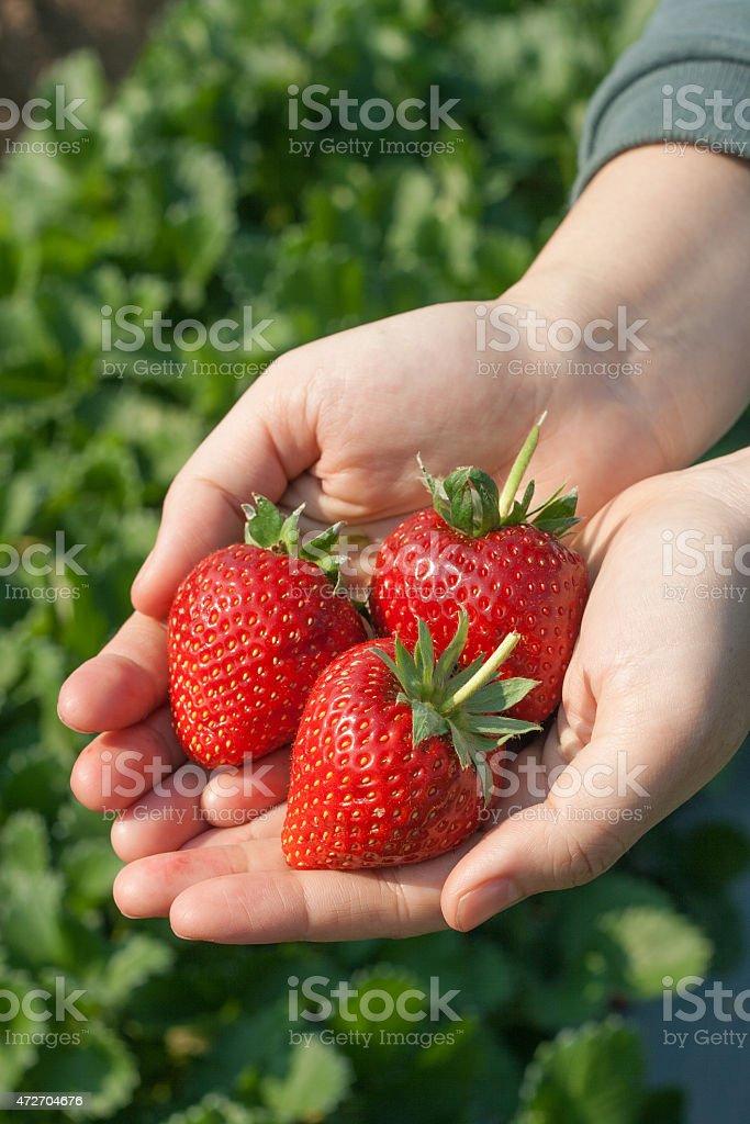 Ripe strawberry in hand. stock photo