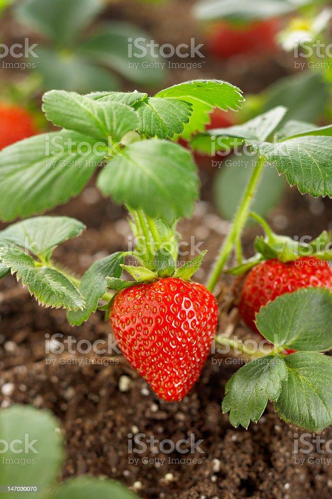 A ripe strawberry still attached to a shrub in the farm stock photo