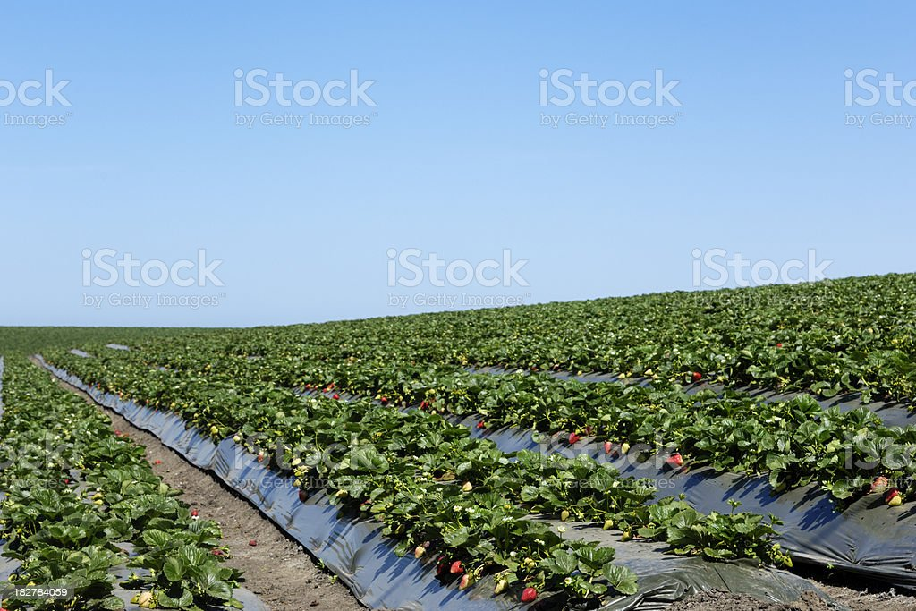 Ripe Strawberrys Ready for Harvest royalty-free stock photo