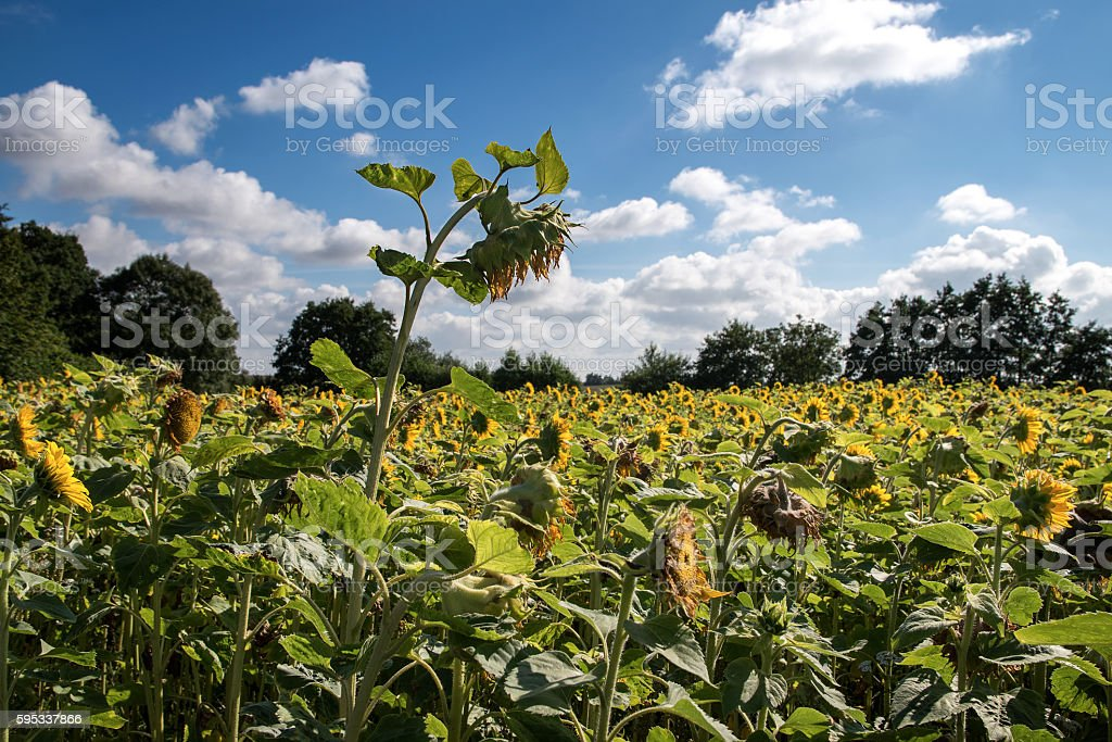 ripe sunflower in a sunflower field against the blue sky stock photo