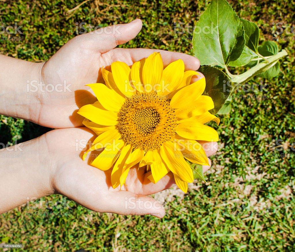 Ripe sunflower in hand. stock photo
