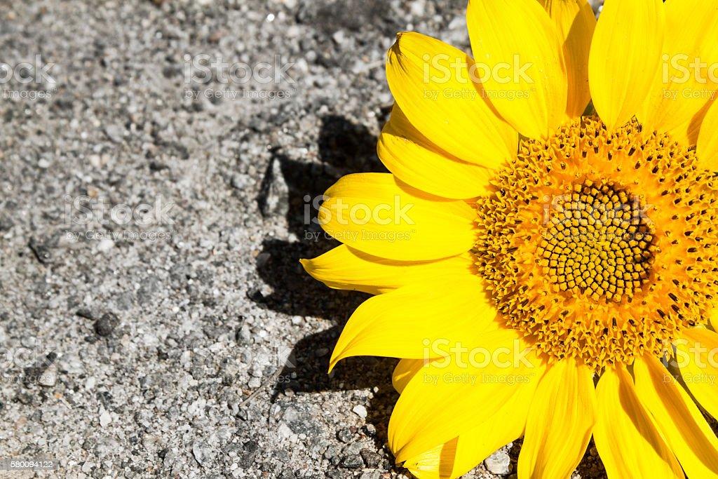 Ripe sunflower on blue sky. stock photo
