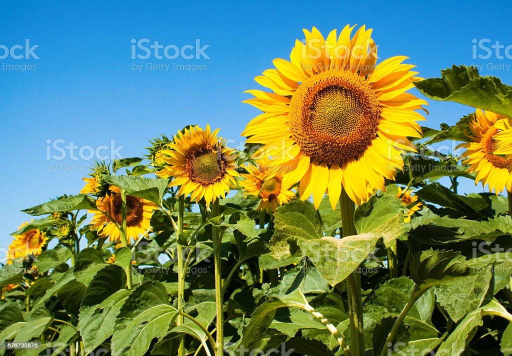 Ripe sunflower on field stock photo