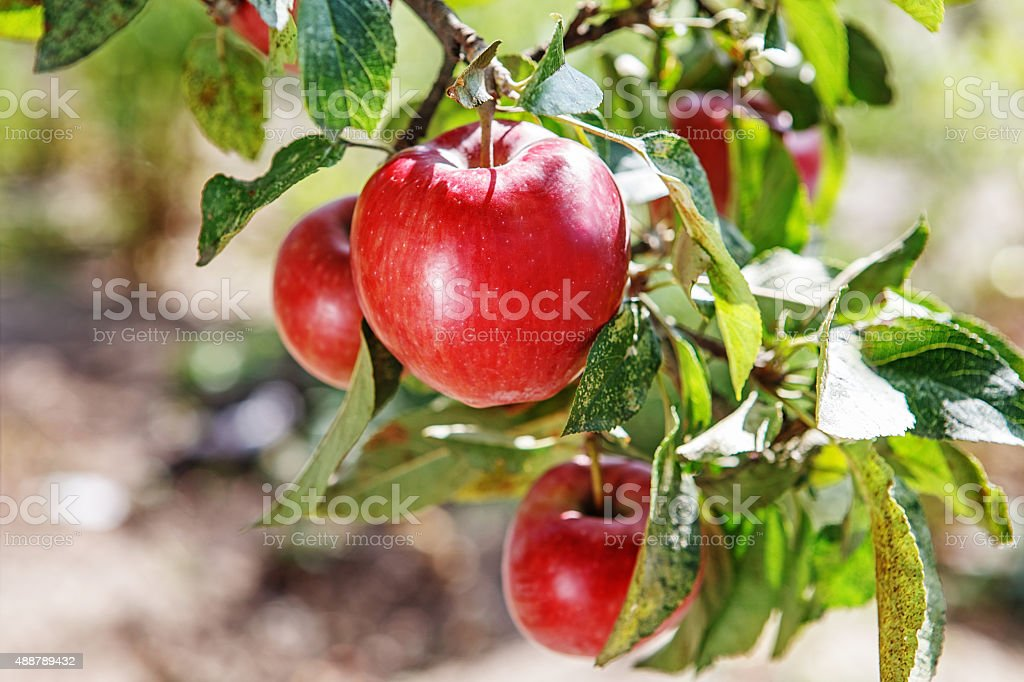 Ripe sweet apple fruits growing on a apple tree branch stock photo