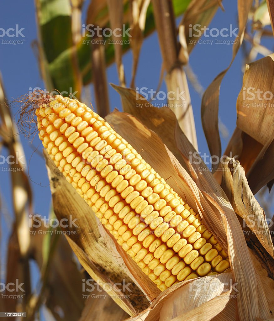 Ripe Sweetcorn (maize) royalty-free stock photo