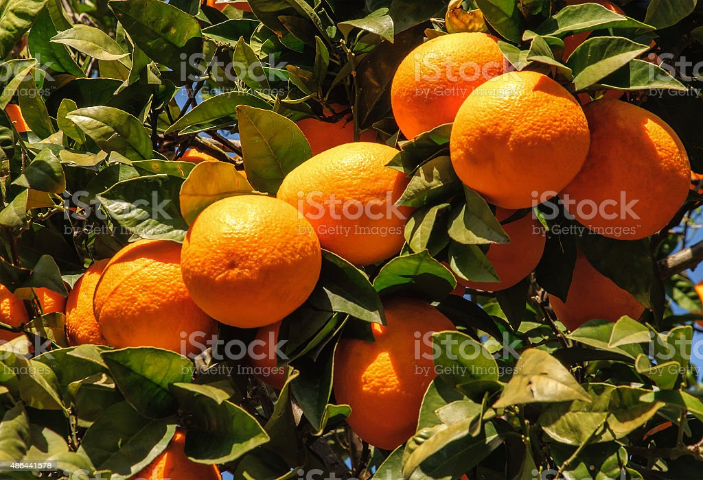 Ripe Tangerines hanging from the tree stock photo
