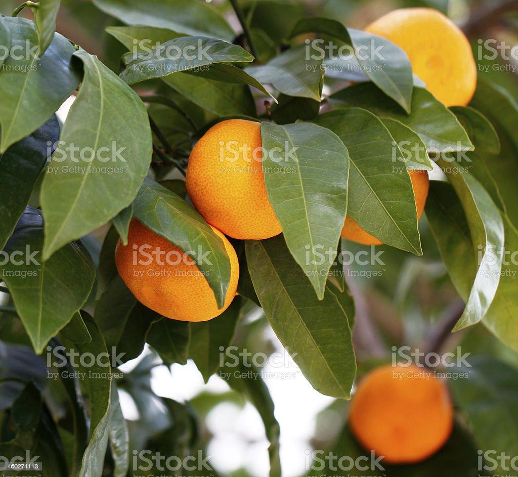 Ripe Tangerines On A Tree Branch stock photo