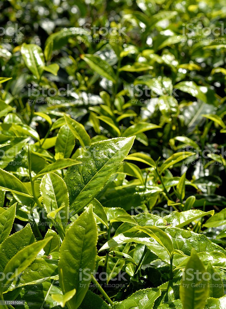 Ripe Tea Leaves royalty-free stock photo