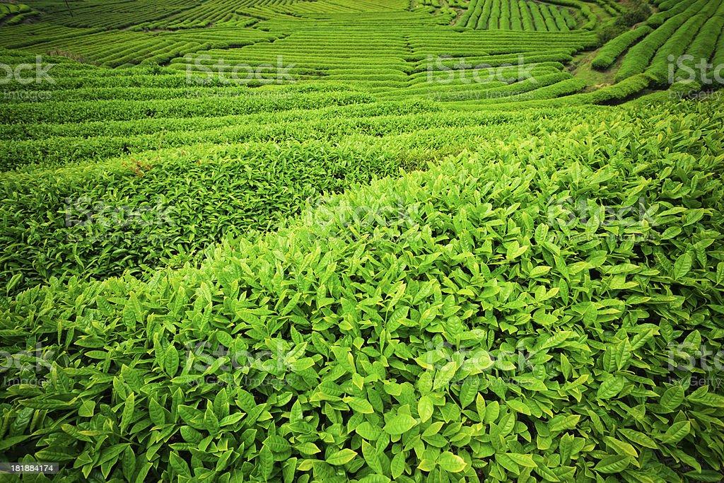 Ripe tea leaves royalty-free stock photo