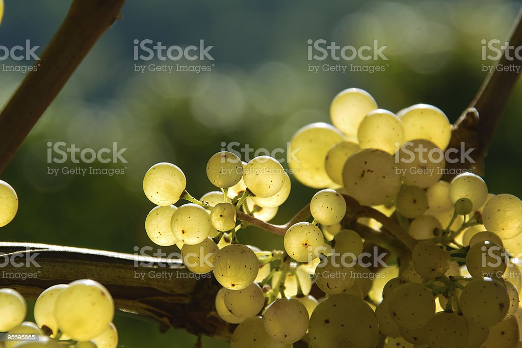 ripe vine and grape in vineyard with light of morning royalty-free stock photo