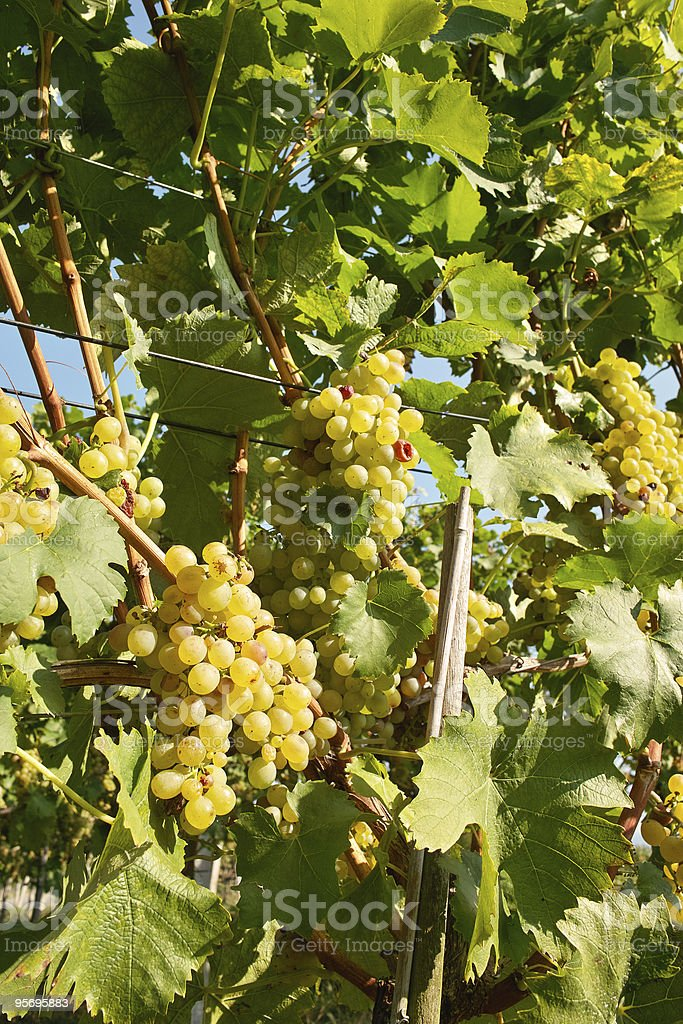ripe vine and grape in vineyard with light of morning stock photo
