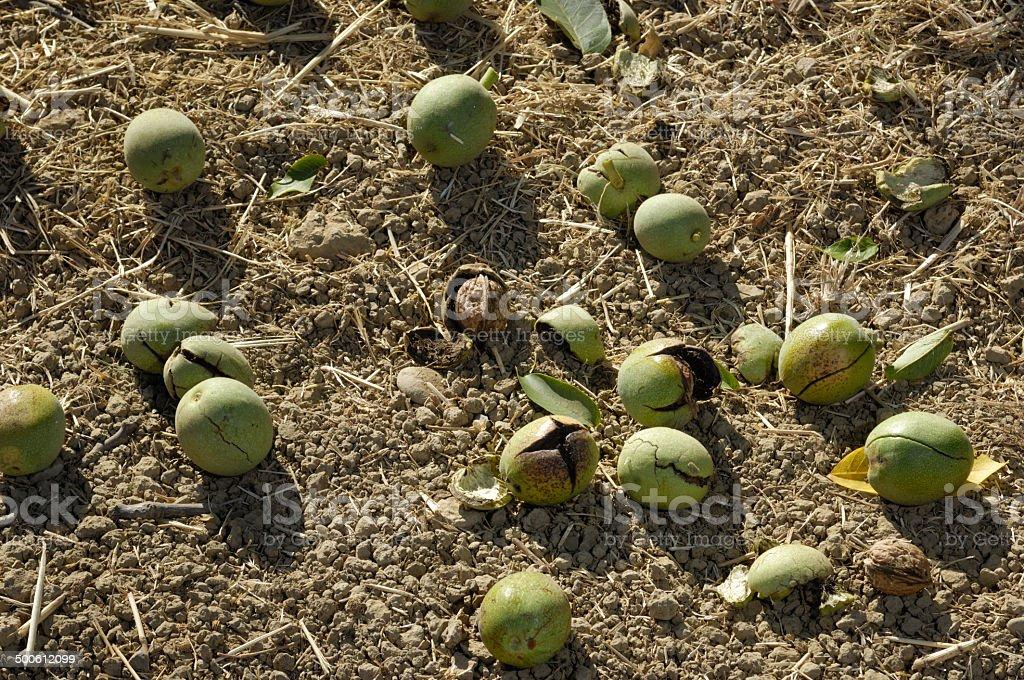 Ripe Walnuts Ready for Harvesting stock photo