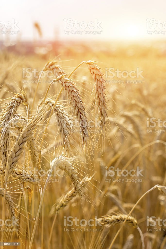 Ripe wheat at the field royalty-free stock photo