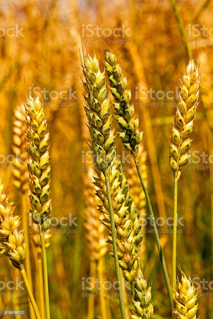 ripe wheat ,  close-up stock photo