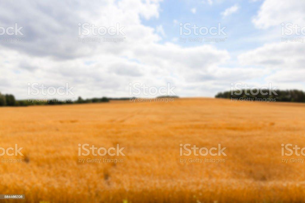 ripe wheat crop stock photo