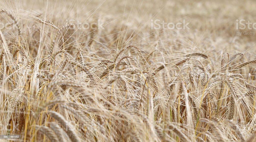 ripe wheat ears in the field in summer stock photo