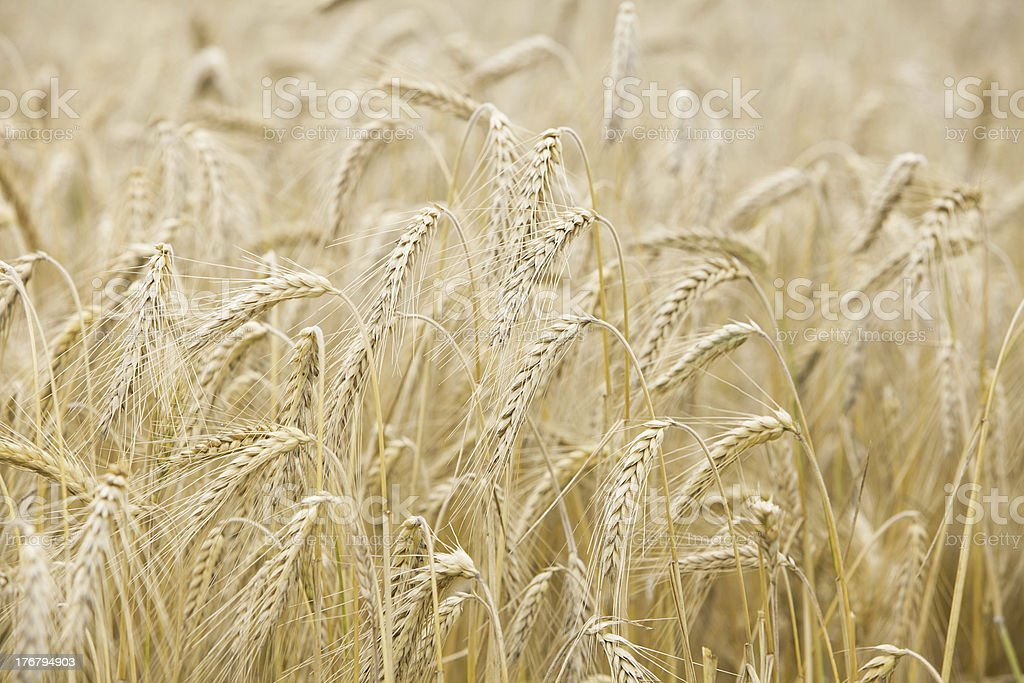 Ripe wheat ears on the field royalty-free stock photo