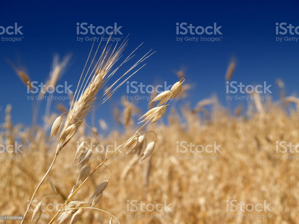 Ripe wheat ears over a blue sky royalty-free stock photo
