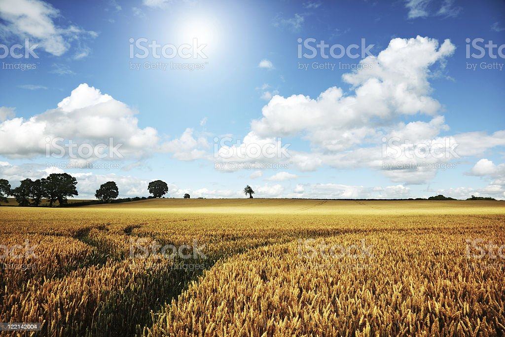Ripe wheat field on a summer day royalty-free stock photo