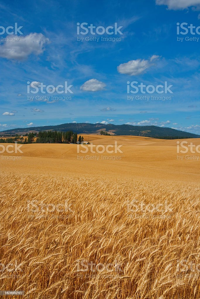 Ripe Wheat Field Ready For Harvest stock photo