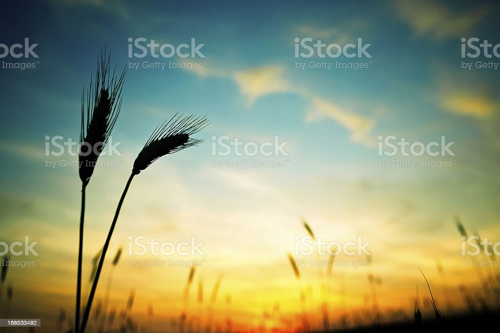 Ripe wheat in field in foreground with yellow sunset behind stock photo