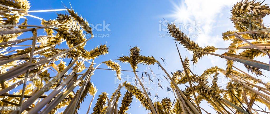 ripe wheat panorama stock photo