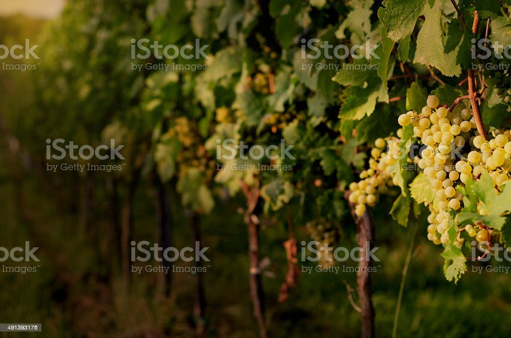 Ripe white grapes in dramatic light. stock photo