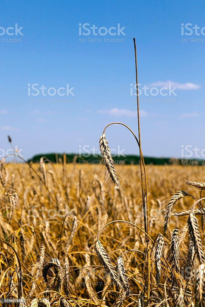 ripe yellow cereals stock photo
