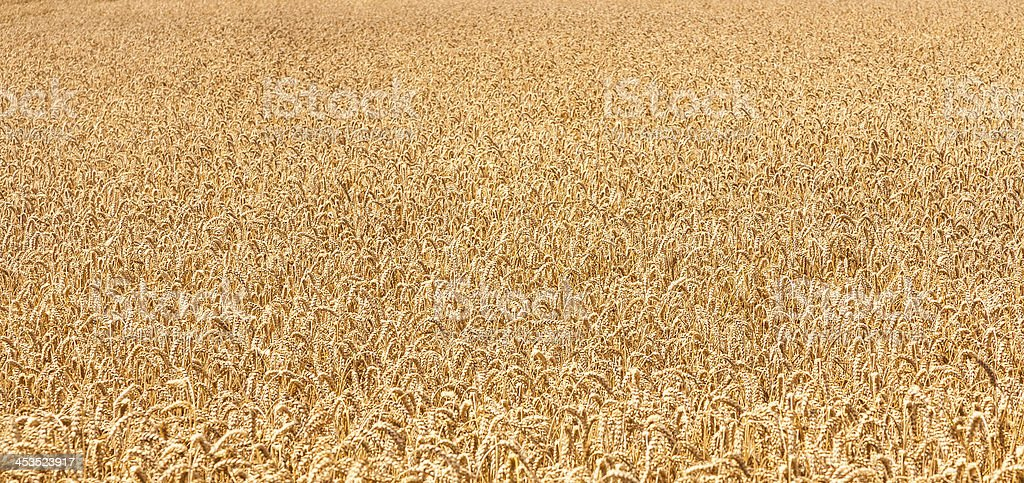 Ripe yellow ears of wheat royalty-free stock photo
