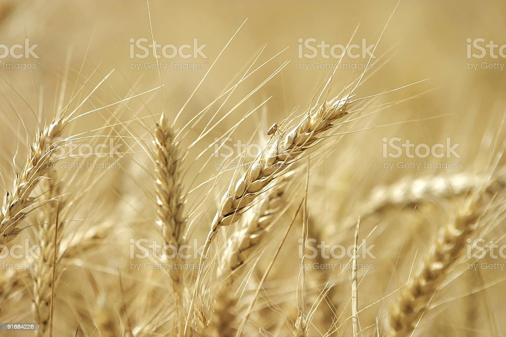 Ripe yellow wheat with stalks by grains royalty-free stock photo