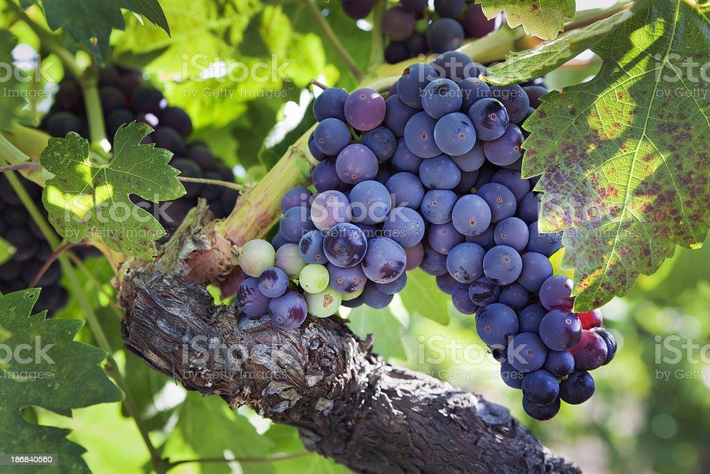 Ripe Zinfandel Wine Grape Varietal Hanging on Vine in Vineyard royalty-free stock photo