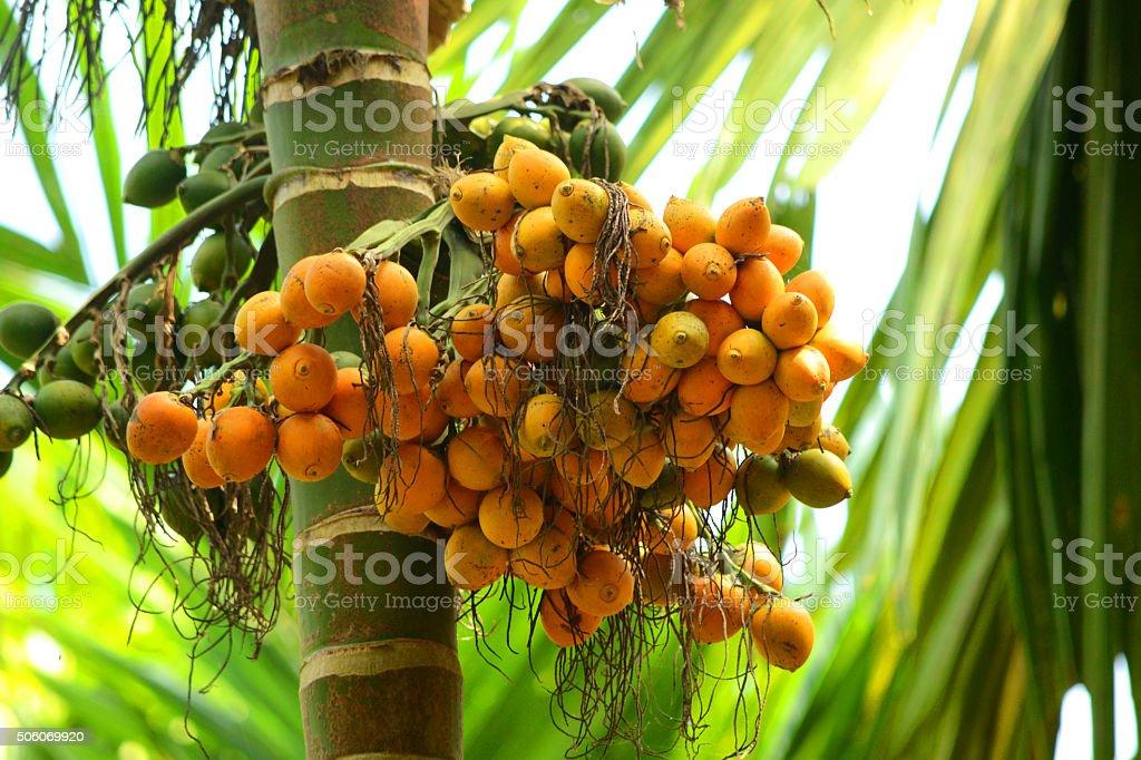 Riped Arecanut In Tree stock photo