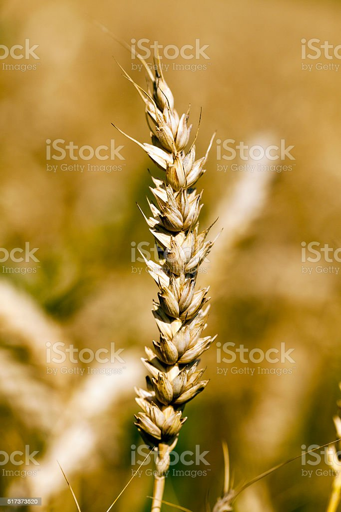 ripened cereals , close up stock photo