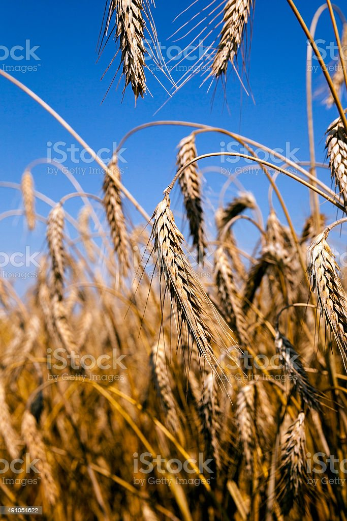 ripened cereals.  field stock photo
