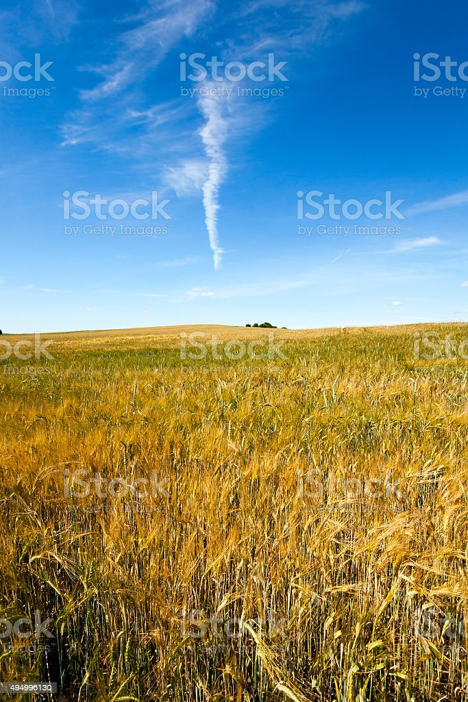 ripened cereals  . field stock photo