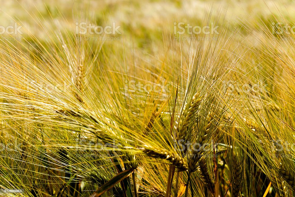 ripened cereals , field stock photo