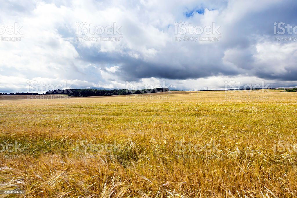 ripened cereals , harvest stock photo