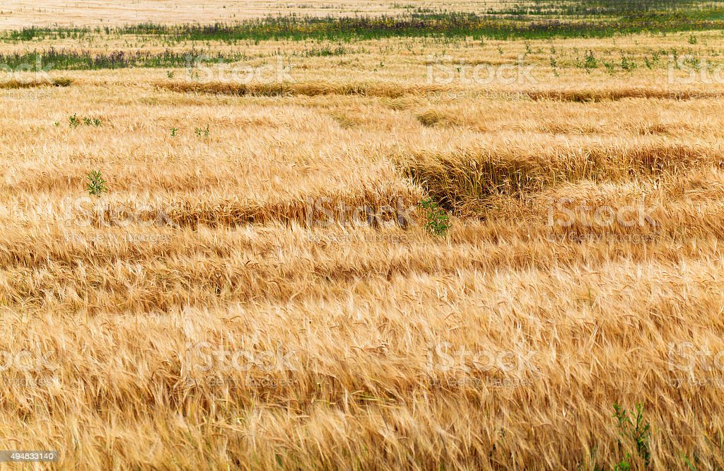 ripened cereals  in field stock photo