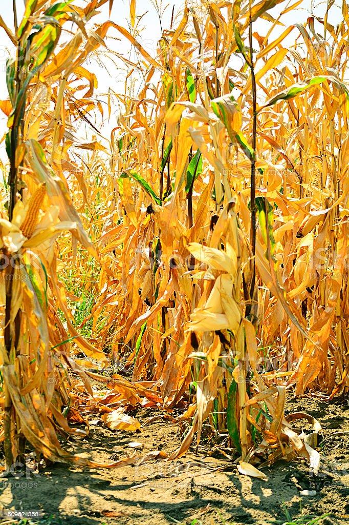 ripened corn in the field stock photo