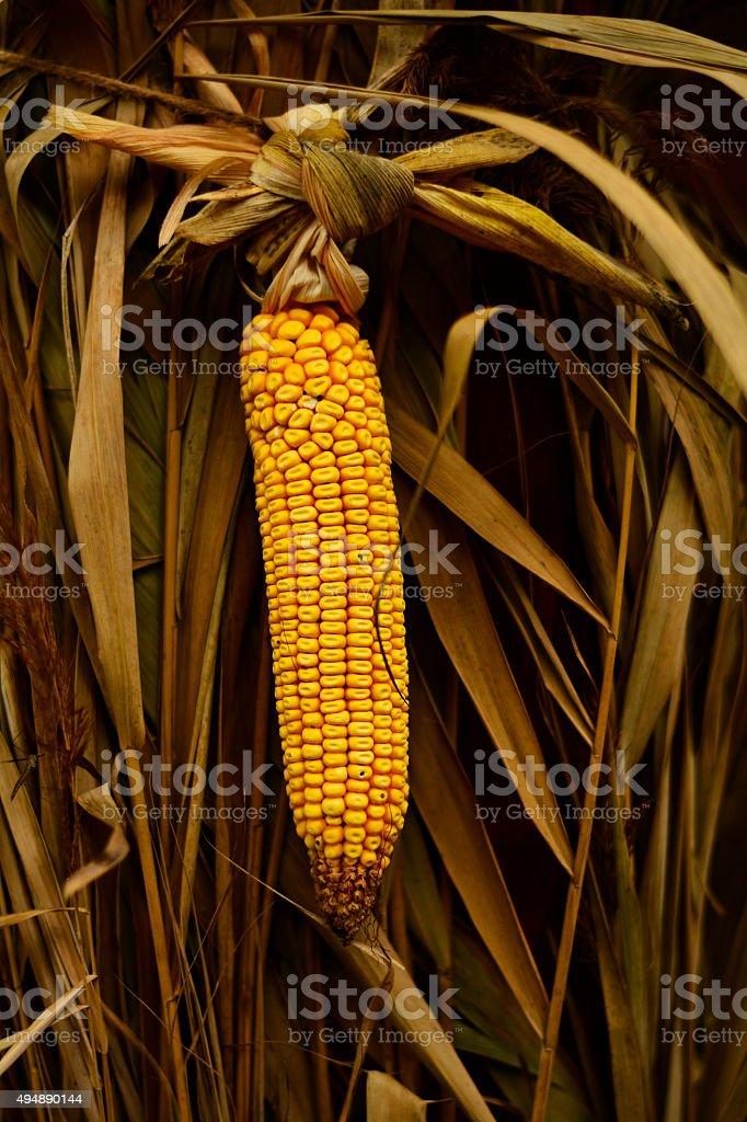 ripened corn stock photo